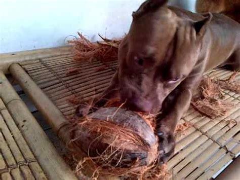 anjing terganas anjing pitbull the best