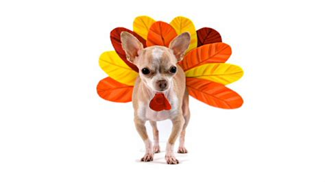 can you give dogs turkey 4 tips for a safe thanksgiving for your dallasdoglife