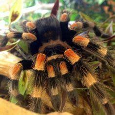 antilles pink toe tarantula avicularia versicolor