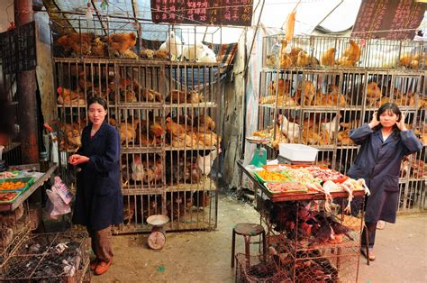 the end of h7n9 no new bird flu cases reported in over a