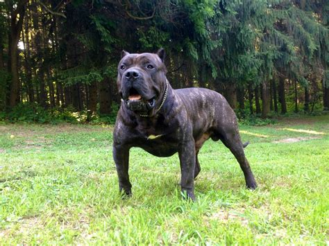 presa canario dogs friendly presa canario puppies breeds puppies considering presa canario puppies