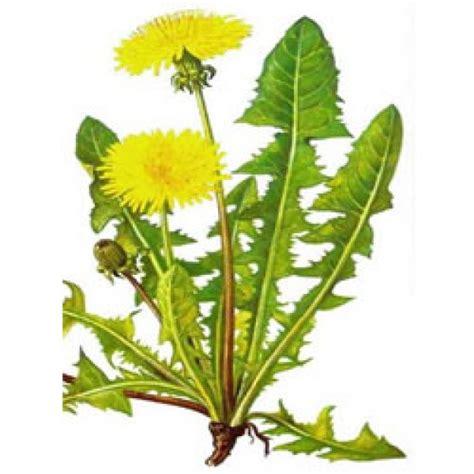 tarassaco fiore tarassaco radice polvere erboristeria giorgioni