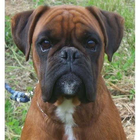 boxer puppies for sale missouri steel blade euros boxer breeder in priest river idaho