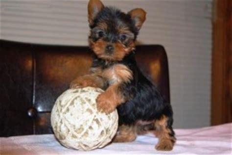 teacup yorkies for free in arizona dogs az free classified ads