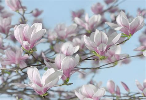 magnolia in vaso magnolia magnolia magnolia piante da giardino