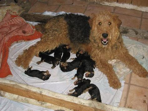 airedale puppies for sale oorang airedale puppies for sale airedale terriers airedale terriers