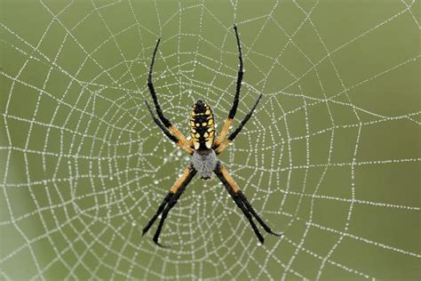 Golden Garden Spider by 6 Things You Need To About Black And Yellow Garden Spider