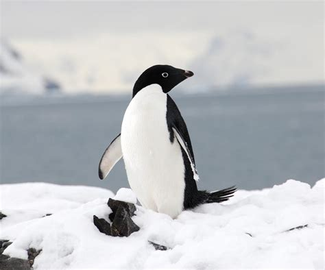 Adelie Penguins | The Life of Animals