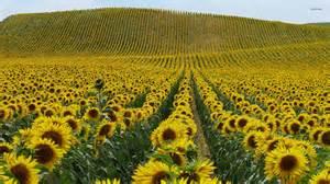 sunflower fields sunflower field wallpaper 1920x1080 78434