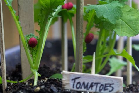 miniature vegetable garden thrives  lights gardener