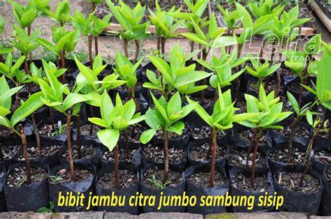 Bibit Jambu Air Yang Bagus jambu citra jumbo artikel kedua leira buah tropis