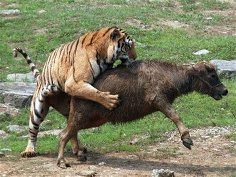 imagenes de leones solitarios su alimentacion animales salvajes 20