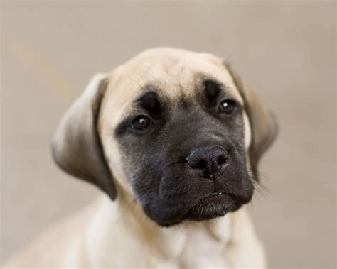 puppy mastiff mastiff puppy photo and wallpaper beautiful mastiff puppy pictures