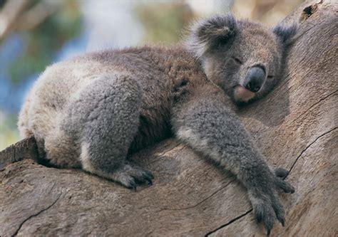 koala schlaf atonalminds koala bulldog