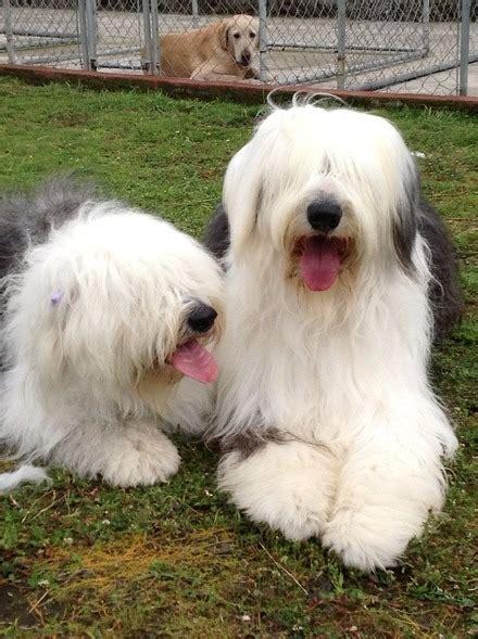 imagenes pastor ingles venta de cachorros viejo pastor ingles 3 500 00 en