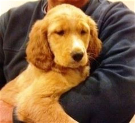setter x golden retriever setter golden retriever mix www pixshark images galleries with a bite