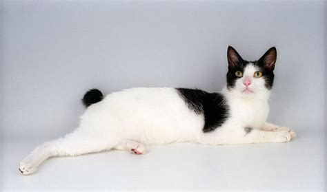 Japanese Bobtail Cat Breed Information