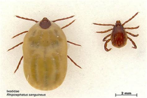 found tick in house sunlive brown dog ticks found in nz the bay s news first