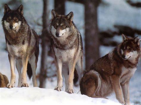 of a wolf wolves world wolves wallpaper 12873060 fanpop