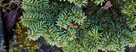 hton grandis tree 90cm grand fir abies grandis compacta