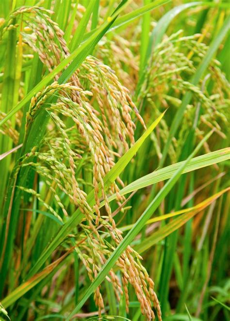 Polieren Reis by Themenwelt Reis