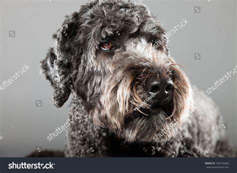 anti allergy dogs grey labradoodle isolated on grey background anti allergy studio portrait stock