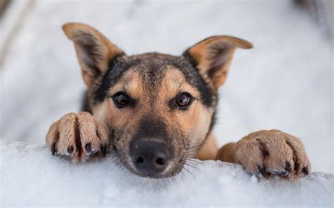 winter dogs puppies in snow wallpaper wallpapersafari