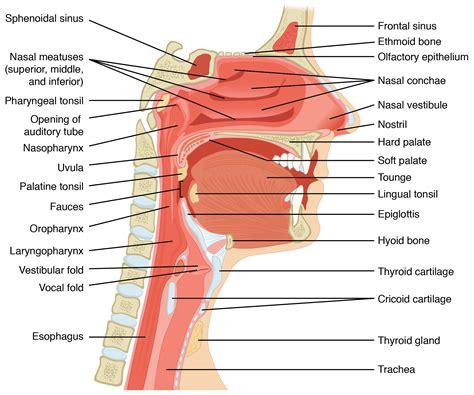 intubation diagram airway diagram anatomy organ