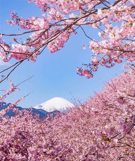 cherry blossoms cherry blossoms have just bloomed in this japanese town