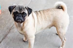 perro pug precio todo sobre perros pug perros pugperros pug