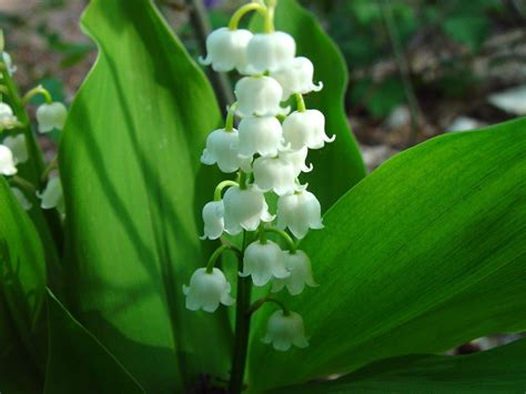 7 white lily of the valley convallaria majalis seeds rare exotic flower seeds ebay