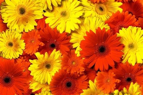 gerbere fiori gerbera gerbera gerbera perenni gerbera gerbera