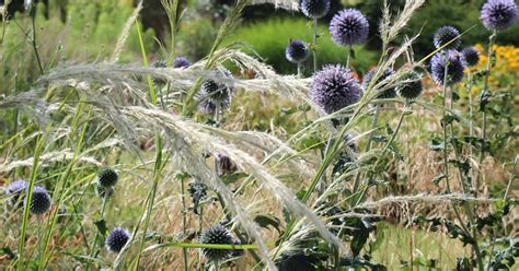 Superior Cottage Gardens Nursery #2: Stipapsued+Echinops_s.jpg