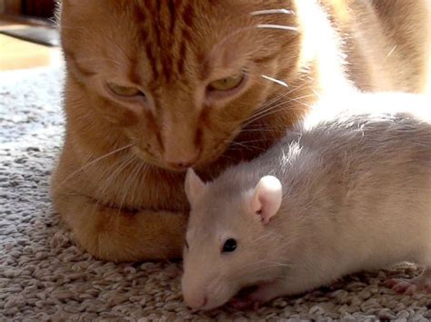cat rat cat and rat s adorable friendship shatters stereotypes abc news