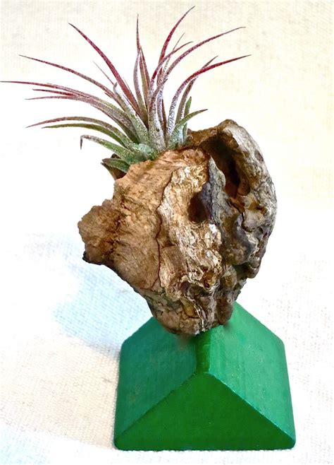 Driftwood Planters For Sale by 17 Best Images About Tillandsia And Bromeliad Air Plants Sculptural Planters For Sale On
