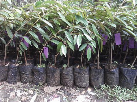 Jual 2 Bibit Pohon Durian Matahari 1 bibit durian cv mutiaratani agrisarana