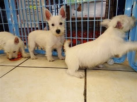 puppies for sale columbia sc westie west highland terrier puppies for sale in from local breeders