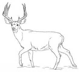 Real Deer Coloring Pages | mule deer buck coloring page free printable coloring pages