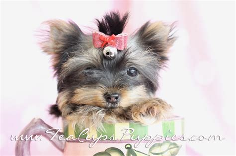 yorkie on sale teacup parti yorkies for sale breeds picture