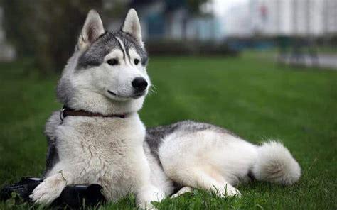 lobo haircut raza de perros husky siberiano 5 cosas que no sabes de ellos