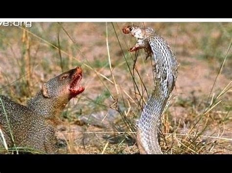 mongoose vs cobra snake mongoose vs cobra snake fight videos compilation 2015