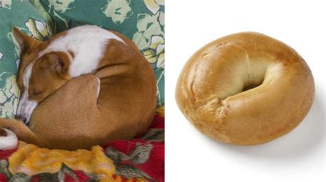 puppy or bagel puppy or bagel meme poses question of canine or carb ny daily news