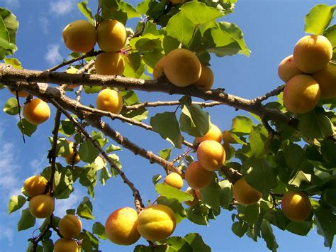 apricot fruit trees apricot tree pictures