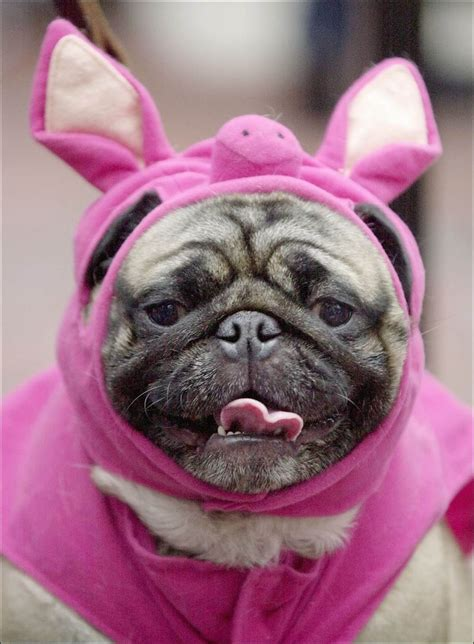 pig the pug costume ideas costume not always a treat for your pets toledo blade