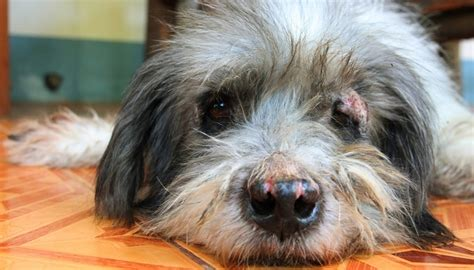 symptoms of mange in dogs mange in dogs symptoms prevention and treatments