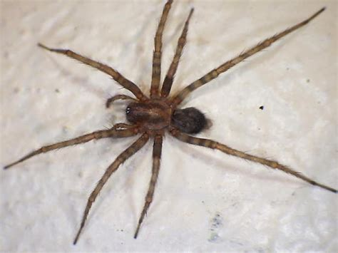 common house spiders spider control in san jose by planet orange
