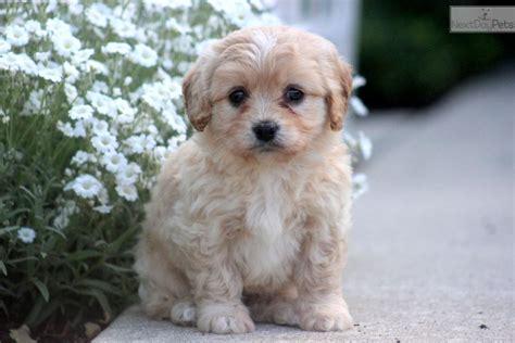 cavachon puppies price cavachon puppy for sale near lancaster pennsylvania 68afb02b 8ea1