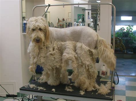 goldendoodle grooming styles photos goldendoodle haircuts styles yahoo image search results