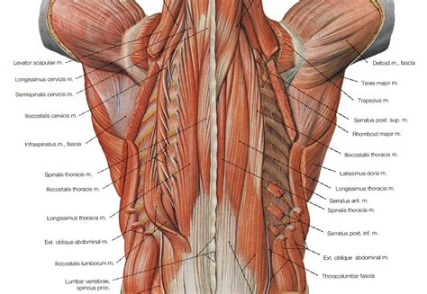 diagram back muscles cat back diagram cat muscles triceps brachii