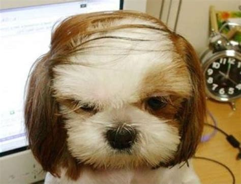 human hair dog cut pics dogs with human hairstyles slapped ham